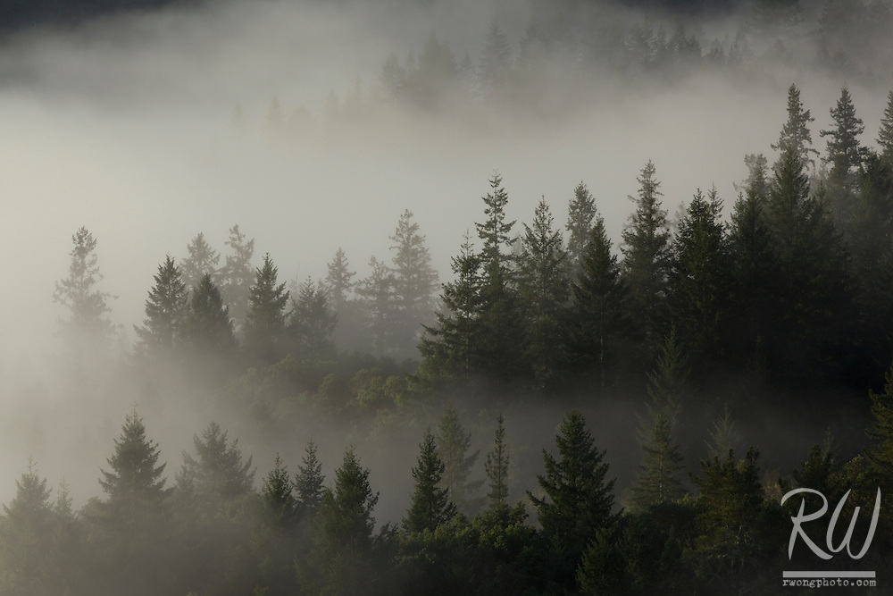 Foggy Forest at Mount Tamalpais Watershed, Marin County, California