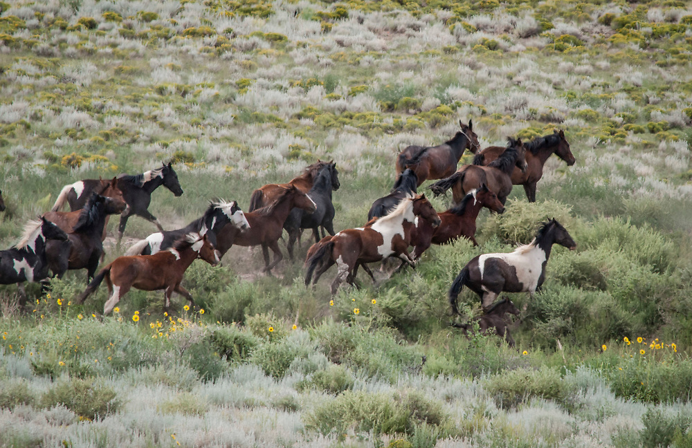 Fine art photograph of a herd of wild horses racing across sage brush flats in Colorado.<br /> <br /> AVAILABLE AS:<br /> <br /> Size 20&rdquo; x 16&rdquo; (50.8cm x 40.6cm approx)*<br /> Edition of ONLY 100 at this size.<br /> US$350 + shipping<br /> <br /> Hand printed in Taos, New Mexico, USA by Taos Print and Photography Services using archival inks and fine art paper. signed and numbered by hand.<br /> <br /> Contact jim@jimodonnellphotography.com to order