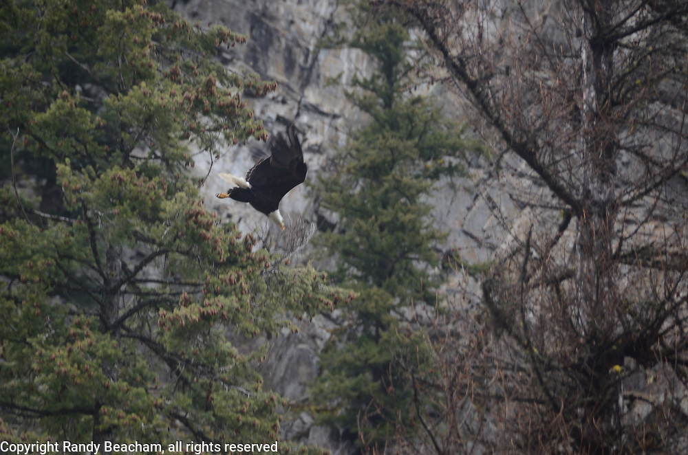 A bald eagle dives. Kootenai River Valley in Lincoln County, northwest Montana.