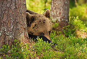 An Eurasian Brown Bear lays in the brush in the forest in Finland.
