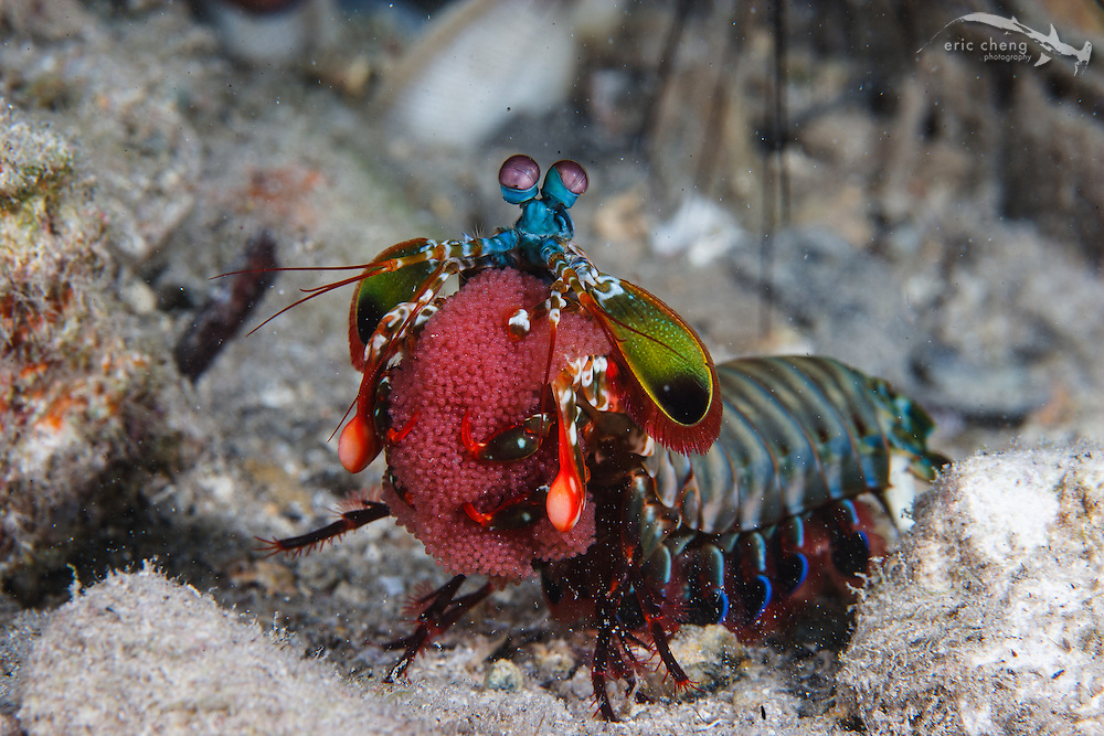 A colorful peacock mantis shrimp (Odontodactylus scyllarus) protects her eggs. Deer Island Jetty, Kofiau, Indonesia.