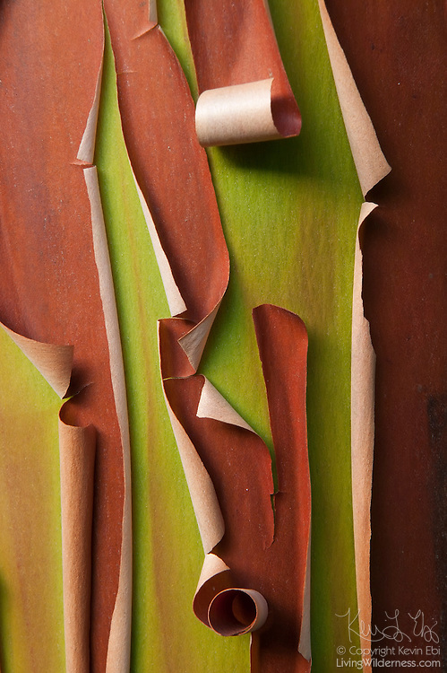 The bark of an Arbutus tree, otherwise known as Pacific Madrone (Arbutus menziesii), peels in Strathcona National Park on Vancouver Island, Canada. Its bark peels in thin strips or flakes to reveal younger bark. Arbutus is the only native broadleaf evergreen tree in Canada.