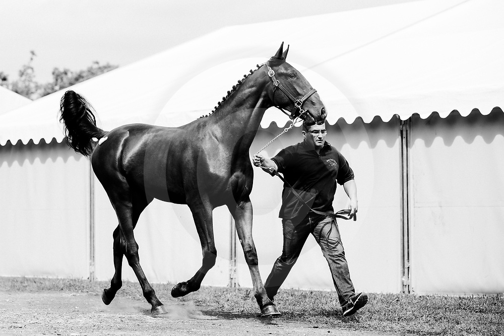Inspections vente de yearlings Osarus trot, Hippodrome de Paris Vincennes, 24/08/2017, photo: Zuzanna Lupa
