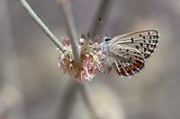 Icaricia acmon (Acmon Blue) at Big Tujunga Creek, Los Angeles Co, CA, USA, on Longstem buckwheat 09-Sep-18
