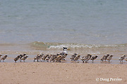 crested tern, Sterna bergii or Thalasseus bergii, with creche of chicks, Turu Cay, Torres Straits, Queensland, Australia
