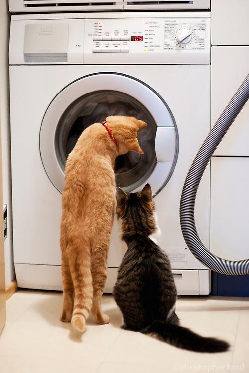 Mikki og Sólmundur fylgjast með þvottinum snúast í þvottavélinni. Two cats watching a washing machine working.