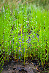 Common Glasswort, Marsh Samphire, growing wild on the salt marsh at Stiffkey, Norfolk. Salicornia europaea
