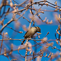 English sparrows tasting the flower buds in Amelanchier tree that is just about to burst into bloom.
