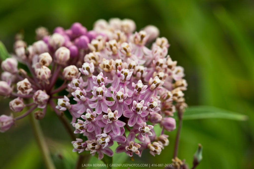 Asclepias incarnata- swamp milkweed