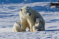 Polar Bear Mom and Babies