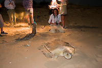 Volunteer ecotourists watch a female turtle make her way back to the water after laying her eggs on a remote beach on the west coast of Cape York in far northern Australia.