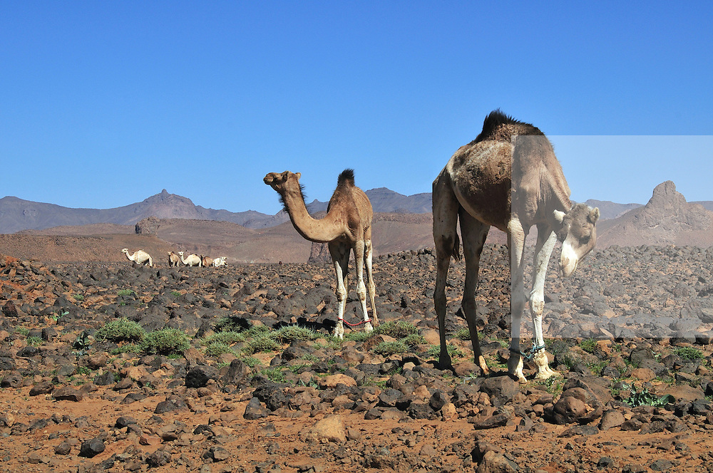 Tamanrasset, camels on the road which leads to the Assekrem. Once leading tourist destination, the southern region of Algeria has been recently closed for security reasons.