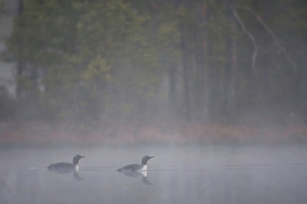 Red-throated divers (Gavia stellata) at dawn on mist-laden lake, Bergslagen, Sweden.