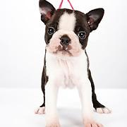20110427Dobes/Rotts/Bost Pups