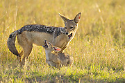 Black-backed Jackal<br /> Canis mesomelas<br /> Playing with 6 week old pup(s) at sunset<br /> Masai Mara Triangle, Kenya
