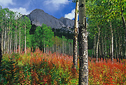 Fireweed (Epilobium sp.)  in meadow in fall<br />Banff National Park<br />Alberta<br />Canada