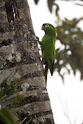 Cerro Tapichalaca Reserve - Monday, Jan 07 2008: A Golden-plumed Parakeet (Leptosittaca branickii) perches on a tree in the Cerro Tapichalaca Reserve near Podocarpus National Park. (Photo by Peter Horrell / http://www.peterhorrell.com)