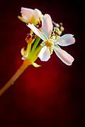 Flowers of the carnivorous plant Dionaea muscipula