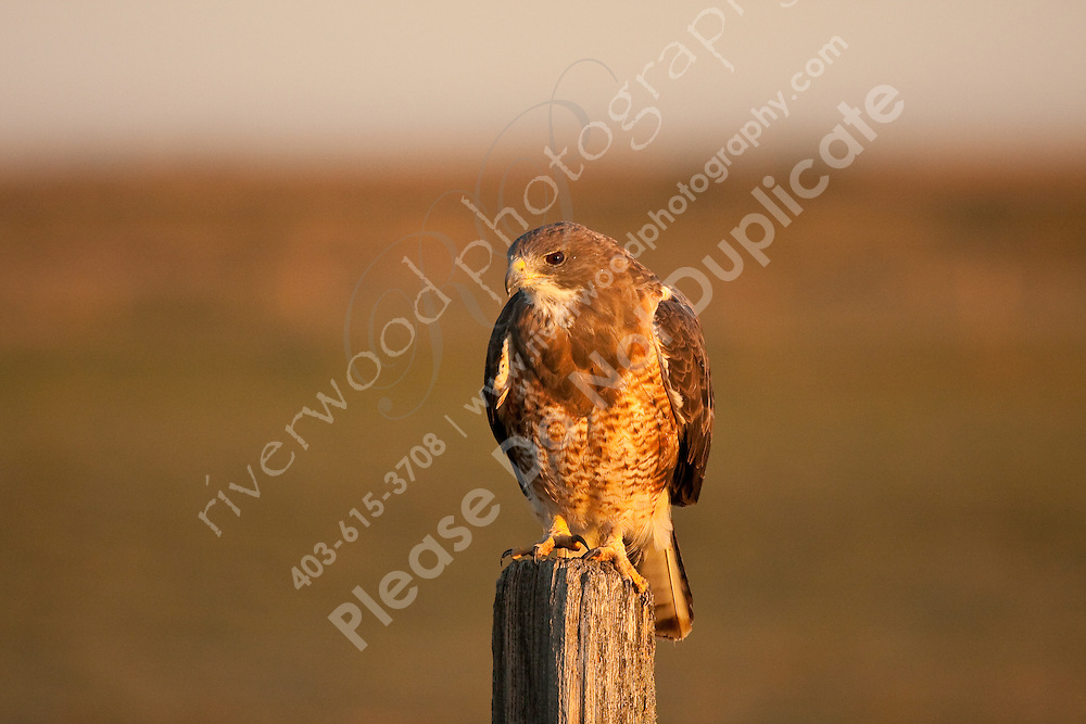 A hawk perches on a fencepost in the beautiful golden glow of sunrise...©2009, Sean Phillips.http://www.Sean-Phillips.com