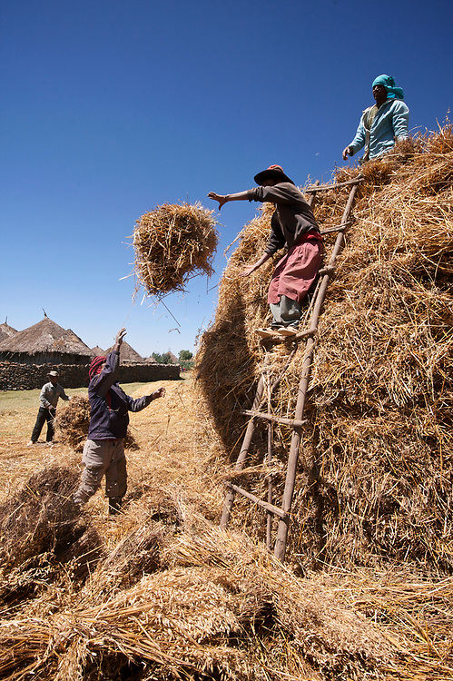 Stacking oats on the farm of Eshete Girma in the central Shewa region of Ethiopia north of Addis Ababa. The oats are being brought in from the fields on donkeys, then stacked with the grain to the inside of the stack so that it will dry and be protected from rain, before it is threshed. <br /> <br /> Building the stacks is actually a quick affair, taking on half an hour or so.  Seen on top of the stack is Eshete's son and farmer Girma Regassa, directing the operations and building he final cap on the stack. <br /> <br /> The oat variety is an old locally adapted variety called Avena Vaviloviana, named after the famed Russion seed saver N.I. Vavilov who traveled this region in the 1920's doing research and collecting seeds. <br /> <br /> Contact: Genene Gezu<br /> Program Coordinator<br /> Ethio-Organic Seed Action (EOSA)<br /> Tel: +251 11 550 22 88<br /> Mobile: +251 91 1 79 56 22<br /> genenegezu@yahoo.com<br /> shigenene@gmail.com<br /> PO Box 5512<br /> Addis Aababa, Ethiopia