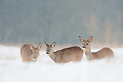 Three Roe deer (Capreolus capreolus) in the snow covered dunes of the Amsterdamse waterleidingduinen, The Netherlands.