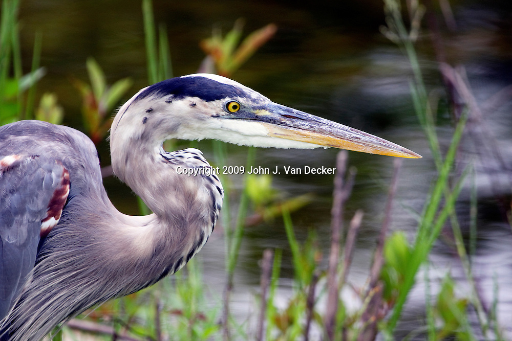 Great Blue heron closeup
