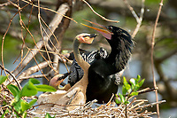 Anhinga (Anhinga anhinga) chick being fed by male parent,  Wakodahatchee Wetlands, Delray Beach, Florida, USA   Photo: Peter Llewellyn