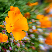 Artistic orange poppies