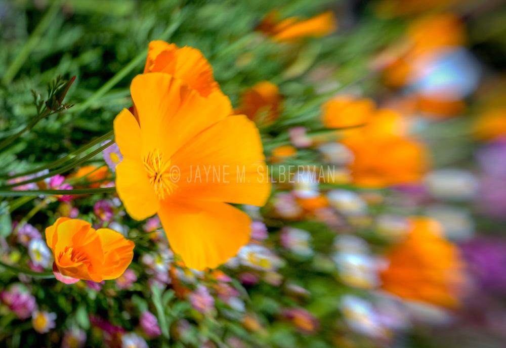 Artistic orange poppies