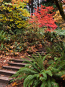 A stairway ascends through forest, ferns, maple leaves, fall foliage. Washington Park Arboretum, a joint project of the University of Washington, the Seattle Department of Parks and Recreation, and the nonprofit Arboretum Foundation.