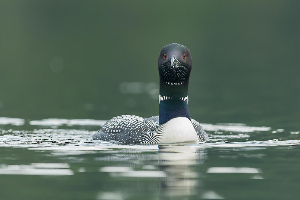 Kayak photography allows for up close and personal interaction with loons