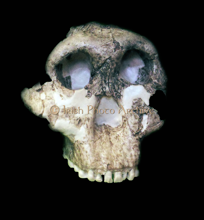 Paranthropus boisei (originally called Zinjanthropus boisei and then Australopithecus boisei until recently) was an early hominin and described as the largest of the Paranthropus species. It lived from about 2.6 until about 1.2 million years ago during the Pliocene and Pleistocene epochs in Eastern Africa.