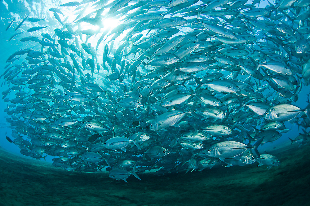 School of Big Eye Trevally (Caranx sexfasciatus) on the Liberty Shipwreck in Tulamben, Bali, Indonesia.