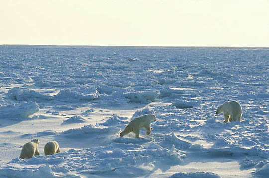 Polar Bear, (Ursus maritimus) Mother with cubs charges male on ice pack. Churchill, Manitoba. Canada.