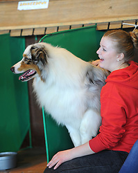 © Licensed to London News Pictures. 11/03/2012. A blue Merle collie sits in the main grooming area at the last day of the 2012 Crufts final in the Birmingham NEC Arena.  With over 28,000 dogs taking part the tension is high as the competition draws towards the prestigious title of  Best in Show. Photo credit: Alison Baskerville/LNP
