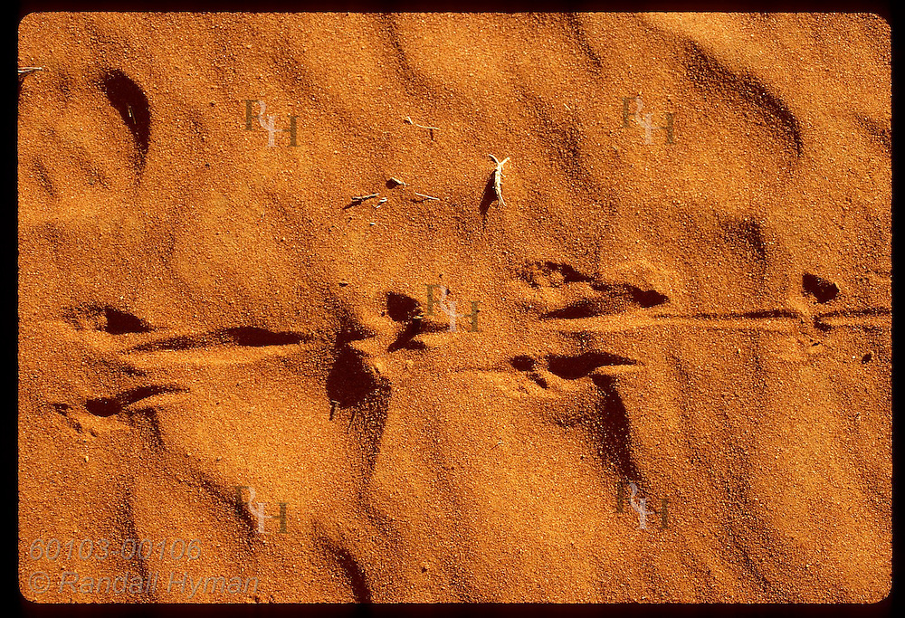 Distinctive prints of mala (rufous hare-wallaby) show where tail drags as they hop; Tanami Desert Australia