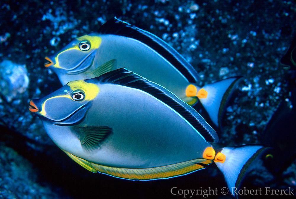 UNDERWATER MARINE LIFE HAWAII FISH: Naso tang Acanthuridae