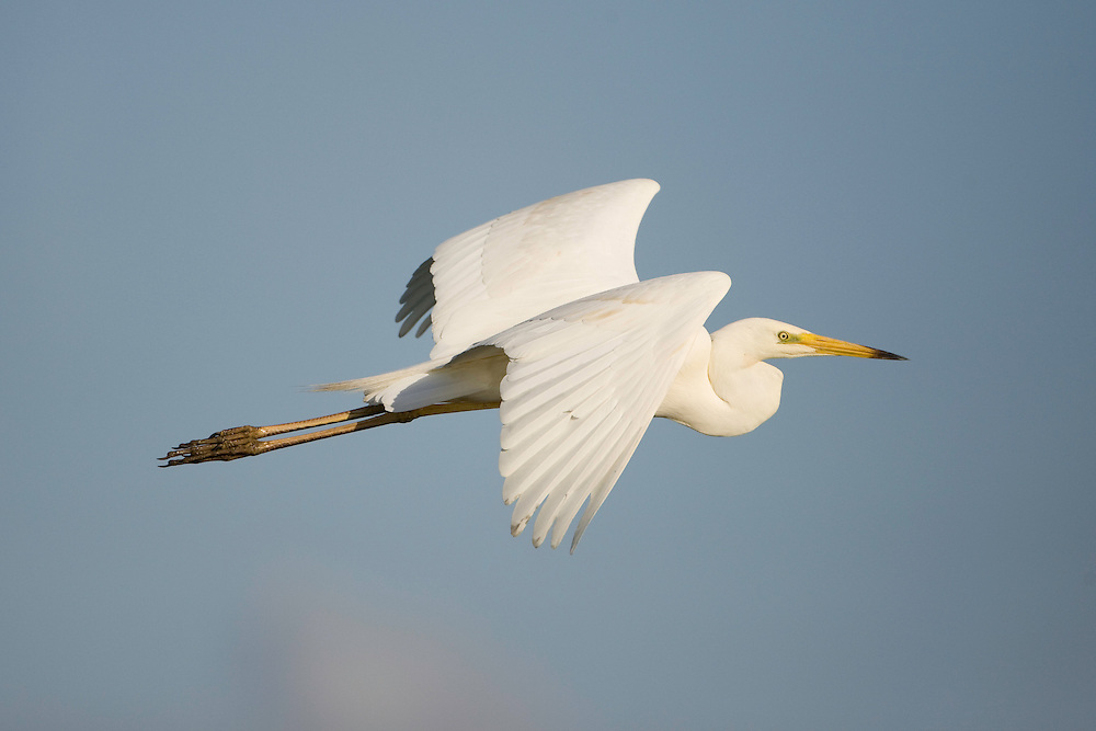 Great white egret (Egretta alba) in flight, Oostvaardersplassen. Mission: Oostvaardersplassen, Netherlands, June.
