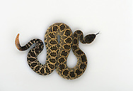 Southern Pacific Rattlesnake, Crotalus viridis helleri, studio portrait, ideal for cutout