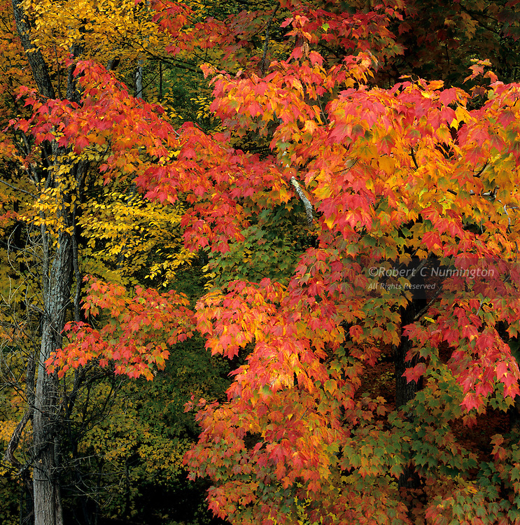 The many colors of Sugar Maples turning in the Fall, Sugarlands area, Great Smoky Mountains National Park, Tennessee, USA.