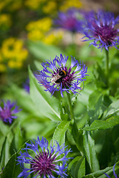 Bee on Centaurea montana. Great blue-bottle, <br /> Mountain bluet, Mountain centaury, Perennial cornflower