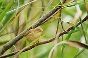Reed warbler perched in a tree at Westhay Moor Nature Reserve, owned by the Somerset Wildlife Trust.
