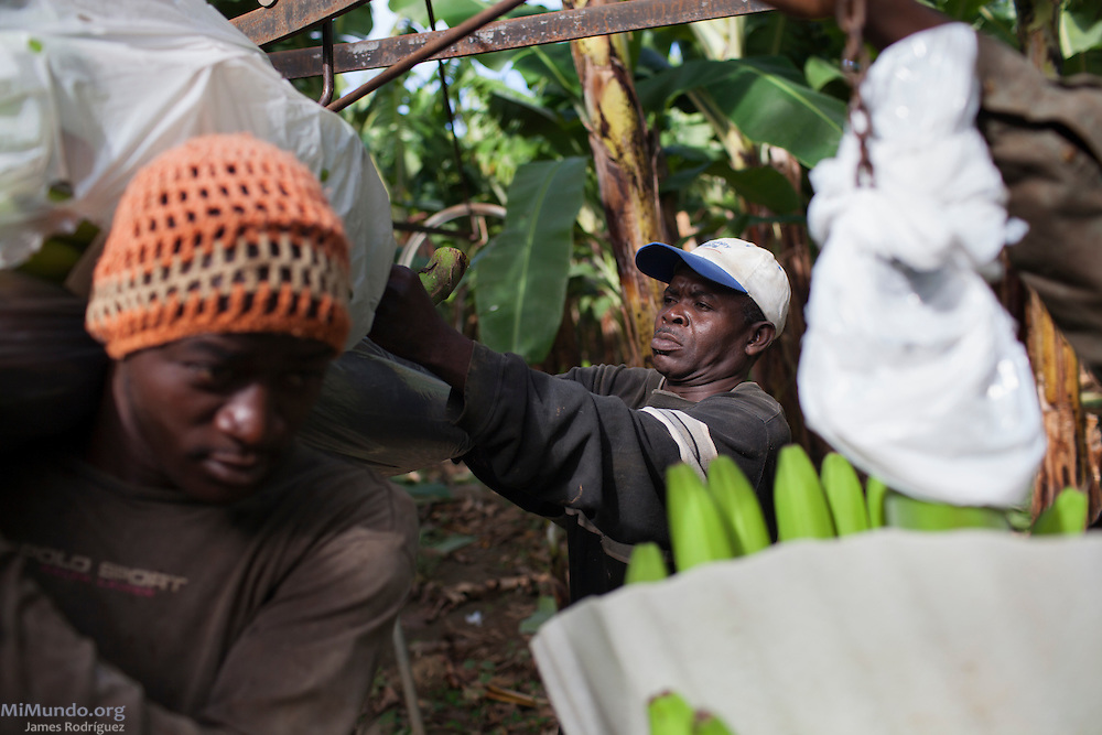 Fernando Batiro, 50, attaches a recently harvested banana bunch carried by Kenel Dorvil, 25, onto a hook-and-rail system at BANELINO producer Erick Almanzar's banana fields. BANELINO is an association of small producers in northern Dominican Republic that exports organic bananas certified by the Fairtrade Labelling Organization (FLO). Mao, Valverde, Dominican Republic. December 3, 2014.
