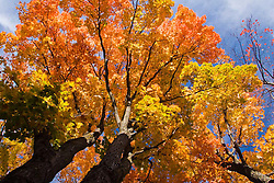 Saint Anne de Beaupre, QC, Canada  Arvore alaranjada no outono / Colorful fall tree
