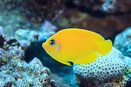Acanthurus pyroferus (Mimic Surgeonfish)