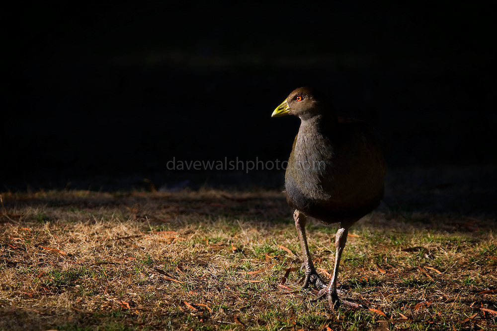 Gallinula mortierii, a flightless water bird, one of twelve species of birds endemic to Tasmania (they don't exist anywhere else). While in New Zealand, flightless birds have done badly since humans colonised, the native hen has done quite well thanks to the extensive new grassy areas. ..