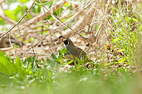 A male California Quail forages on the ground for weed seeds and small insects.
