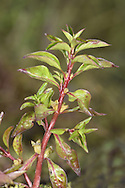 Hampshire-purslane - Ludwigia palustris