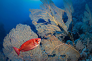 Lunar-tailed bigeye-Priacanthe commun (Priacanthus Hamrur) of Red Sea.
