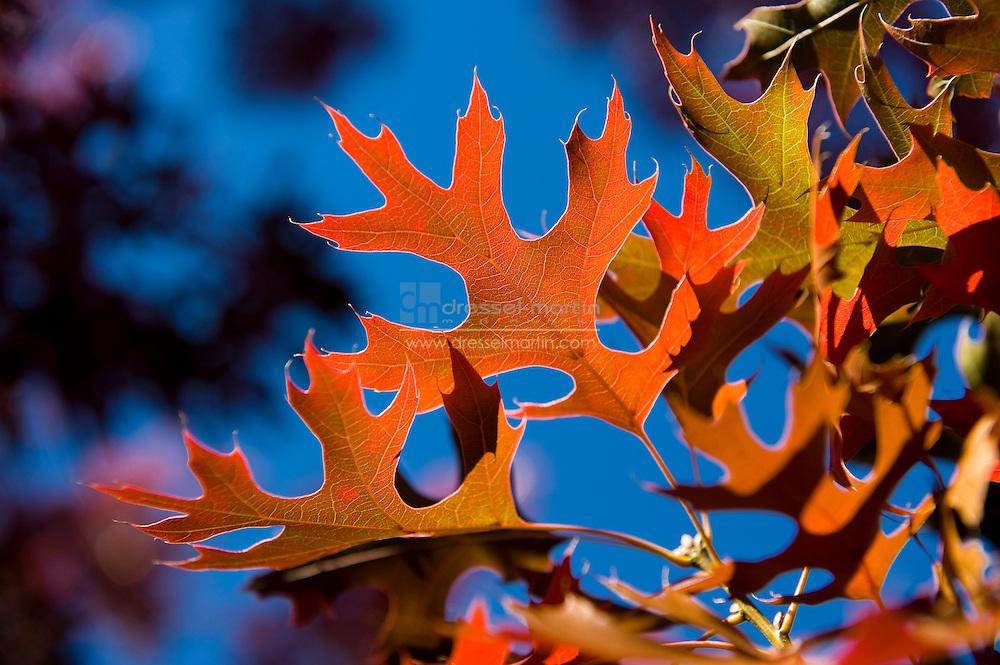 Denver Botanic Gardens, quercus shumardii